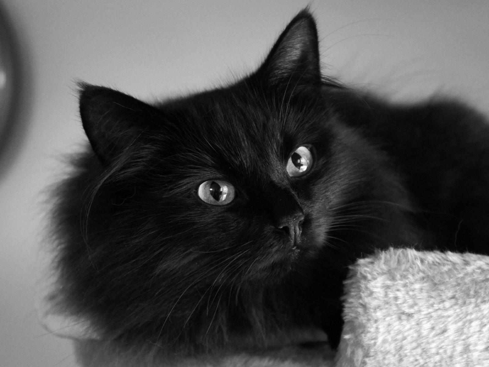 black cat computer wallpaper photos 58764