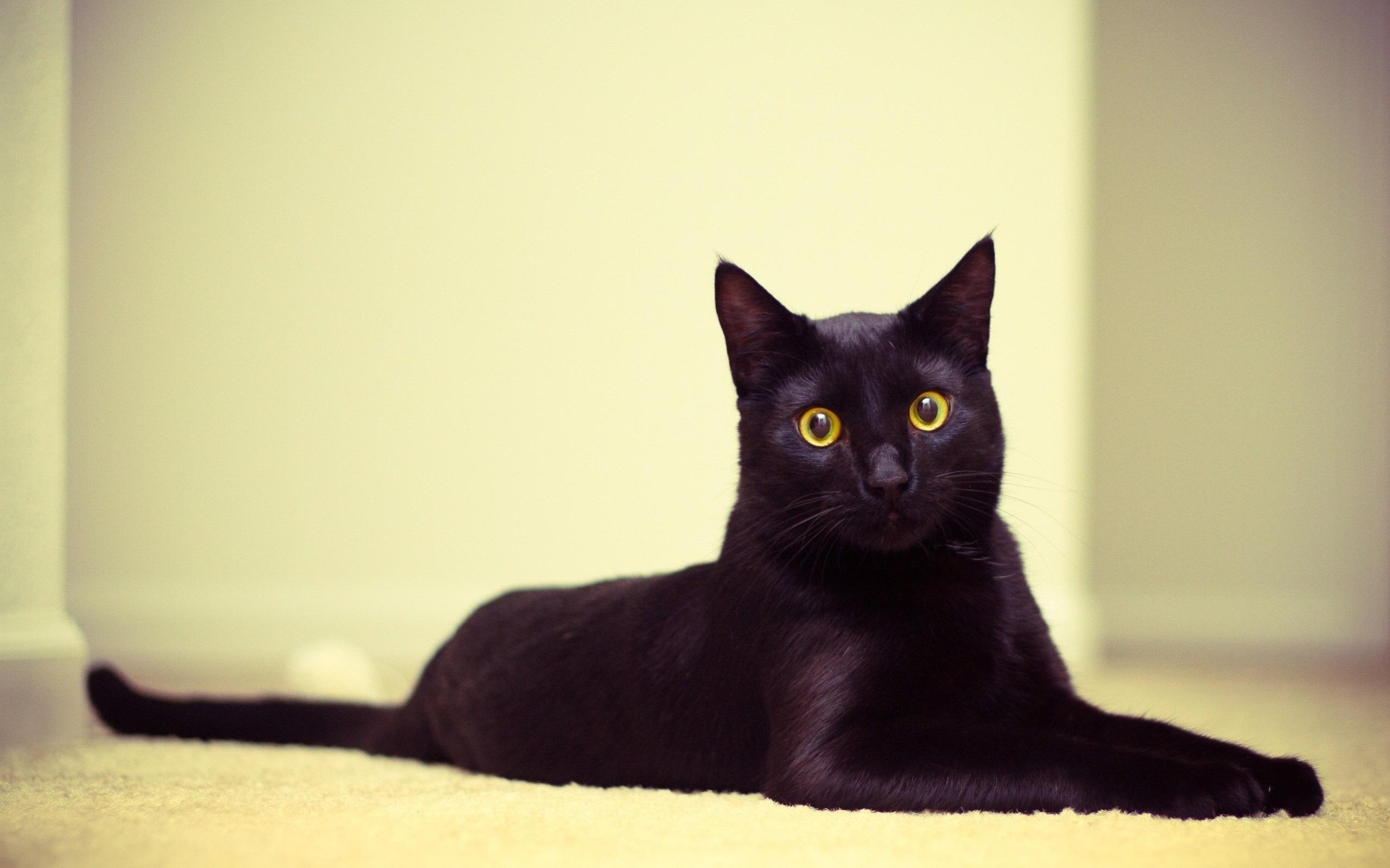 black cat wallpaper background 58766