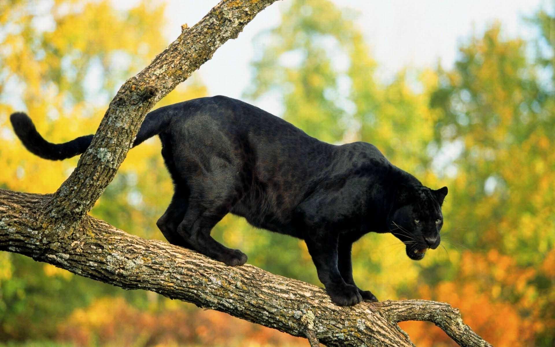 black panther animal desktop wallpaper 52632