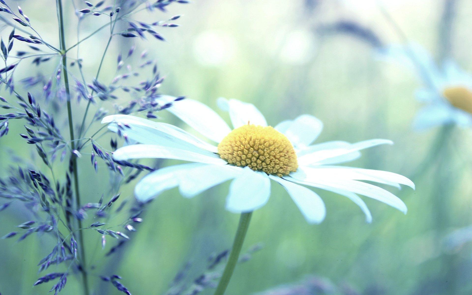 chamomile flower wallpaper 50619