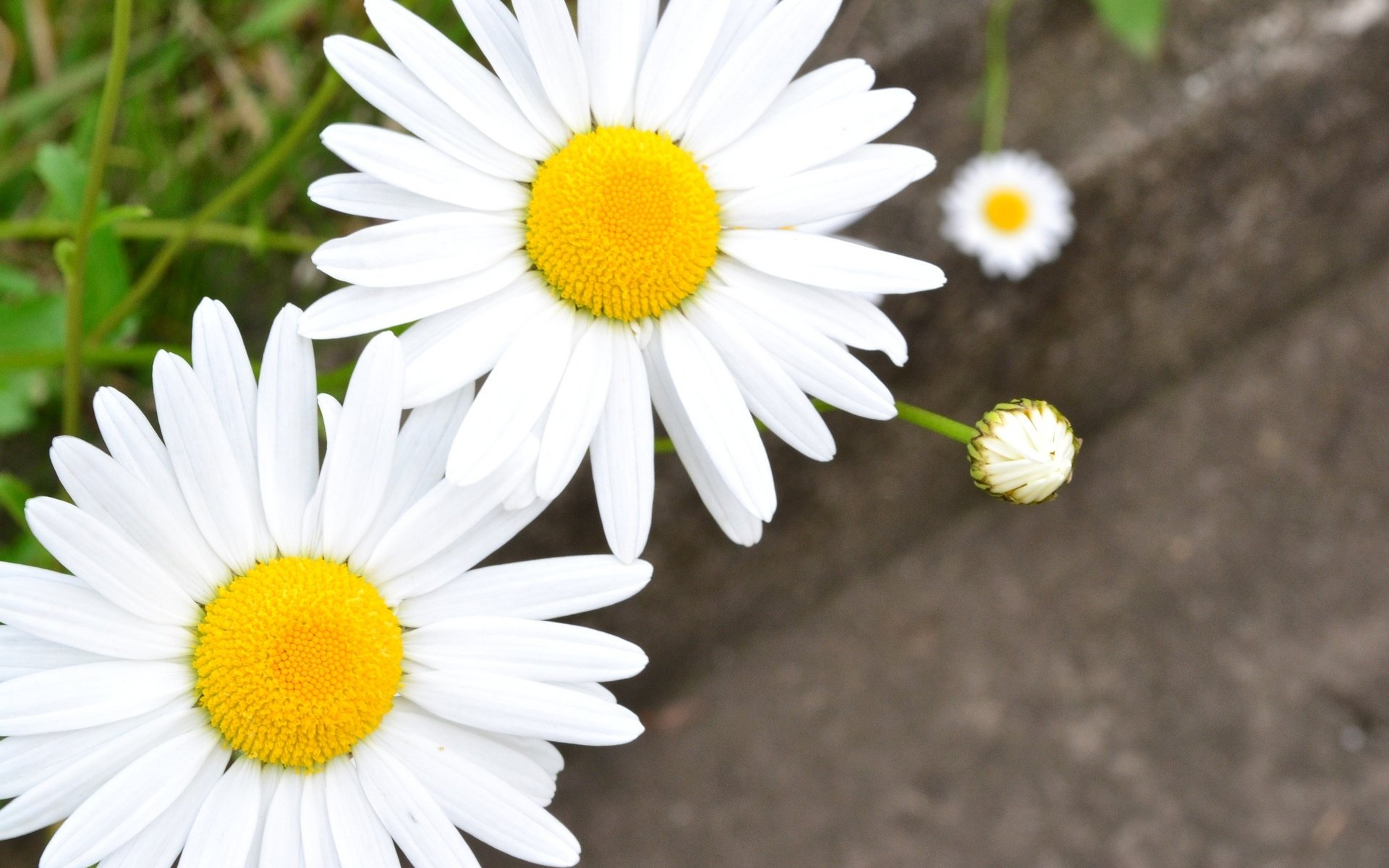 chamomile flowers desktop wallpaper 50616