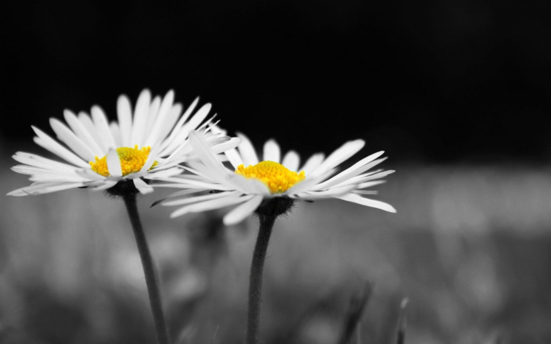 chamomile flowers desktop wallpaper 50618
