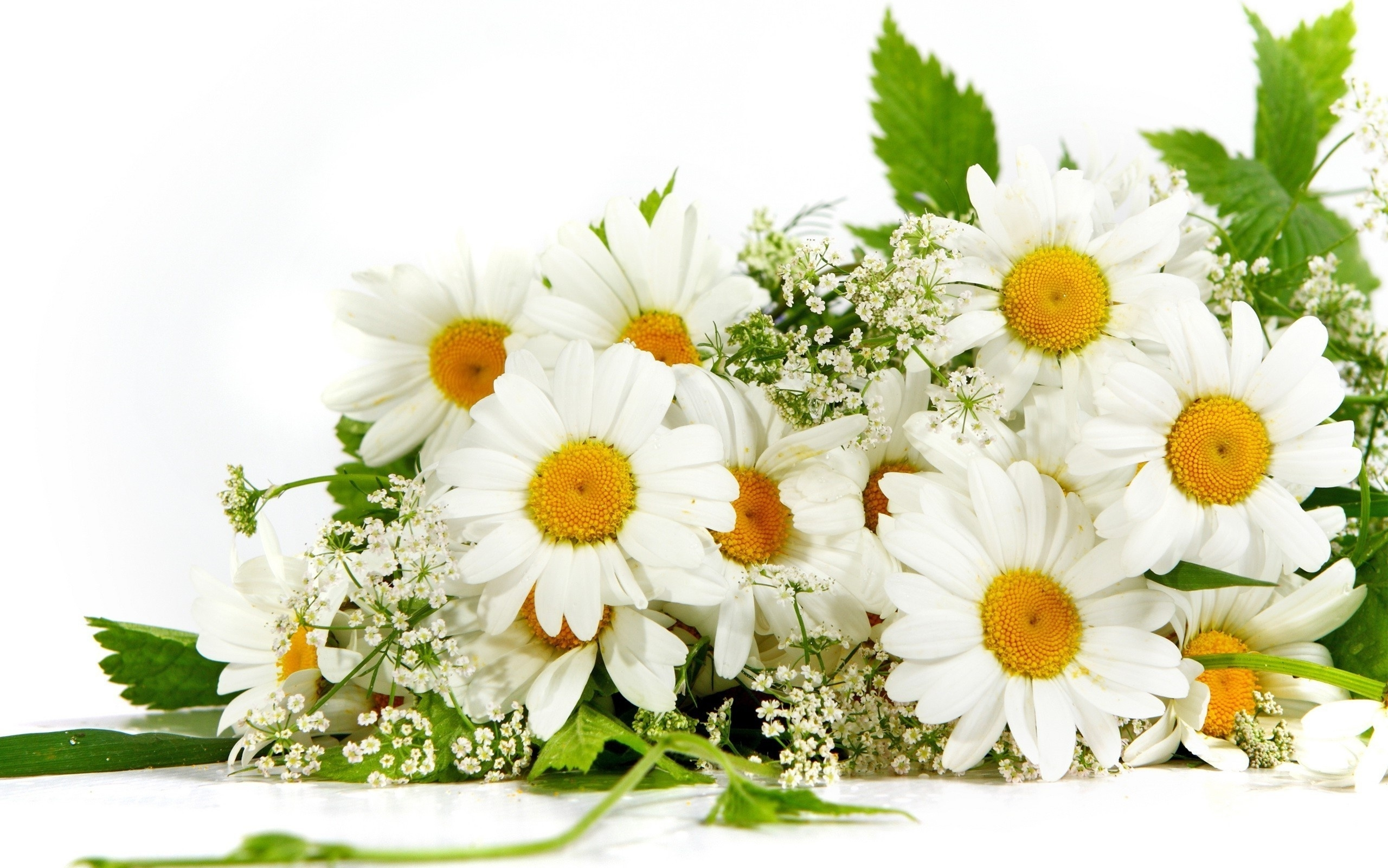 chamomile flowers wallpaper background 50613