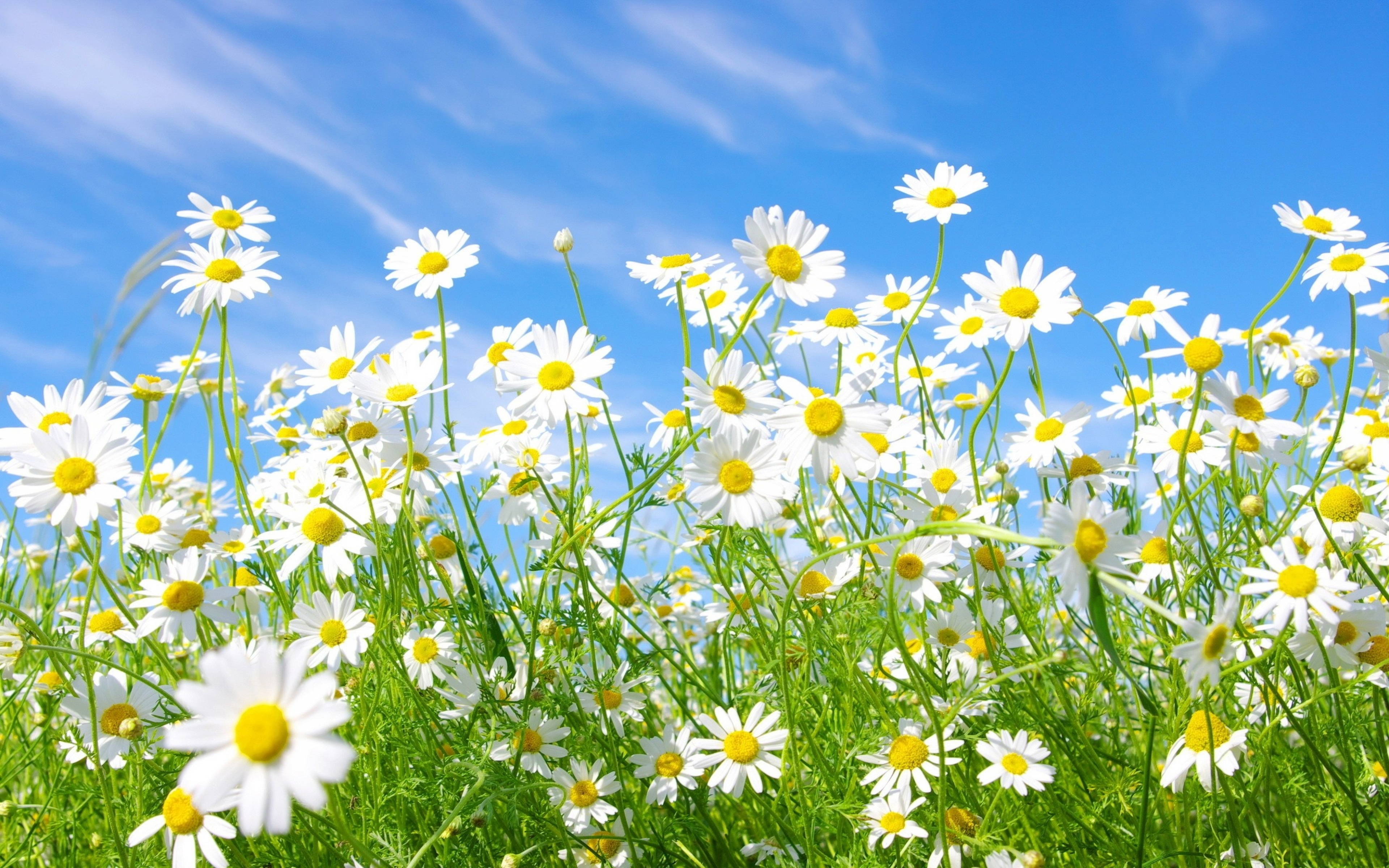 chamomile flowers widescreen wallpaper 50614
