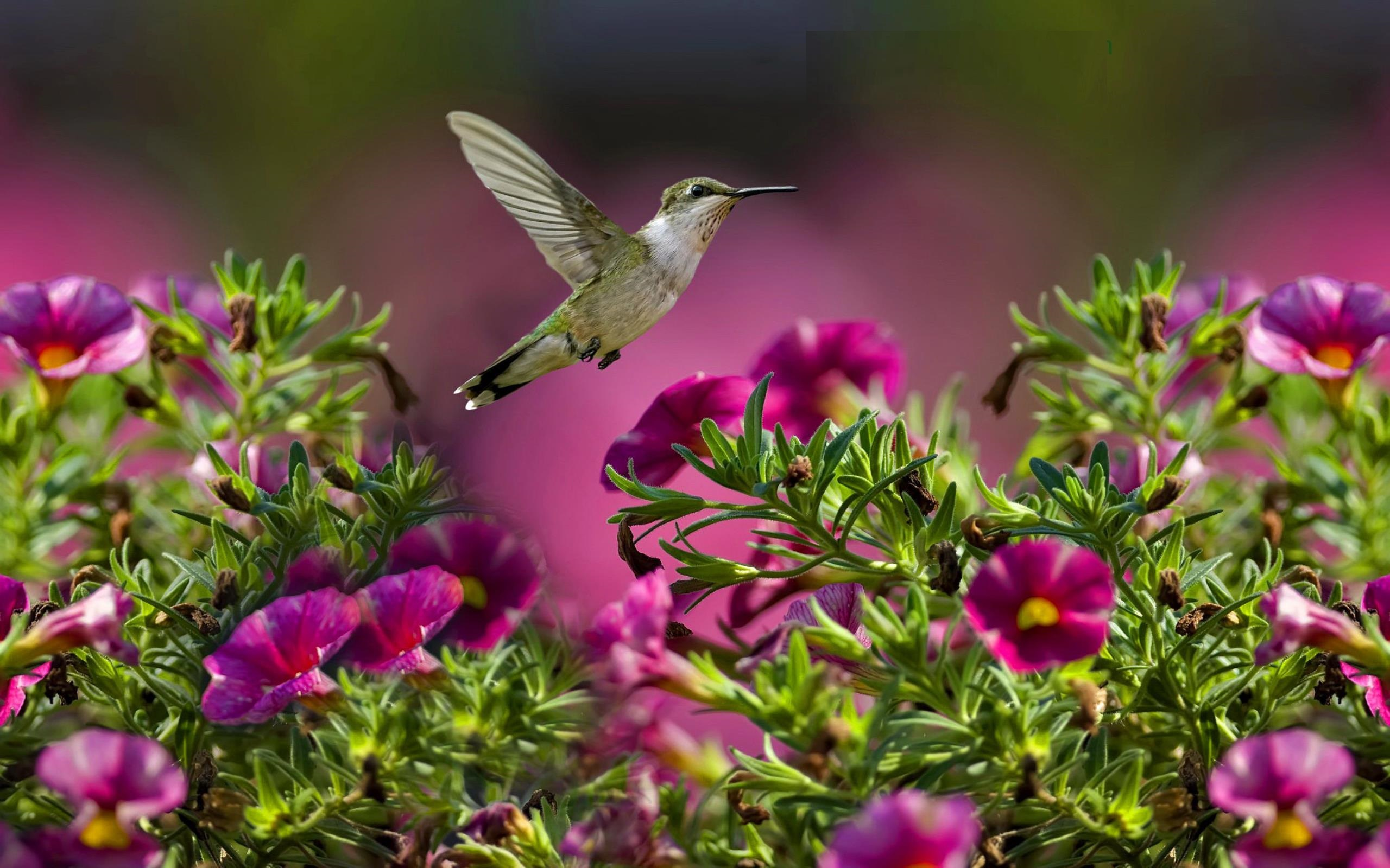 hummingbird wallpaper background 49267