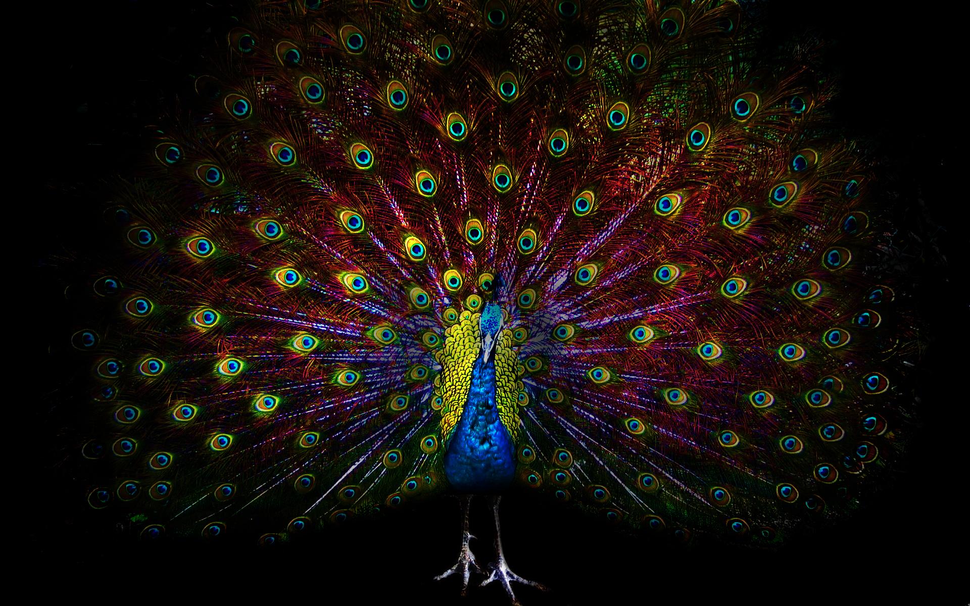 peacock bird wallpaper 50072