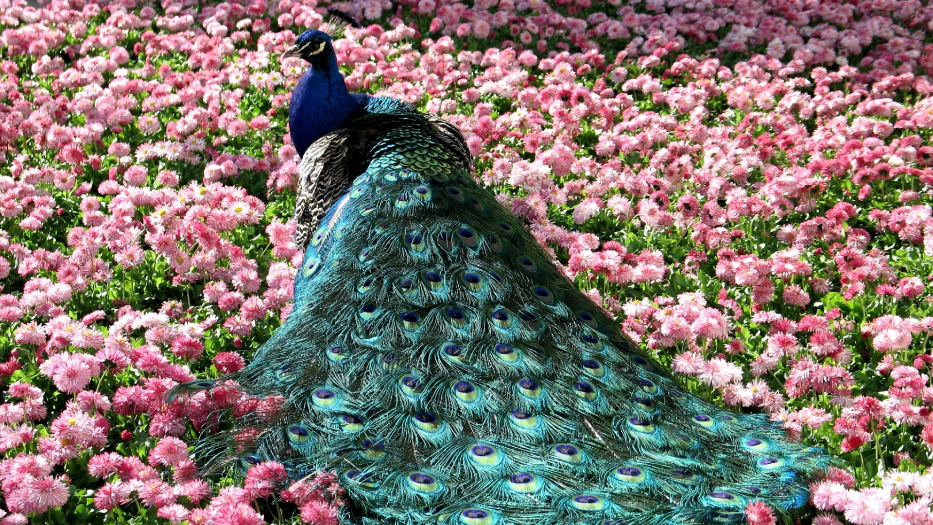 peacock bird wallpaper hd 50071
