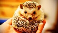 Baby Hedgehog Wallpaper 50471