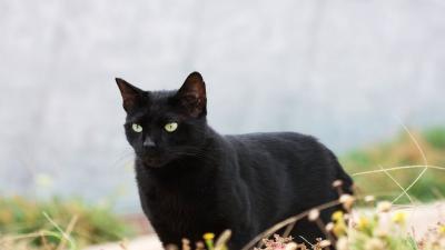 Black Cat Wallpaper Pictures 58767
