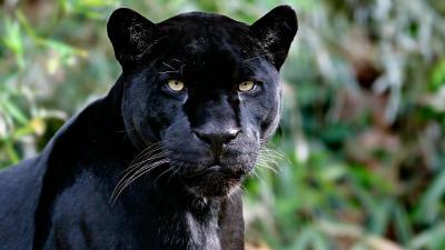 Black Panther Animal Computer Wallpaper 52630