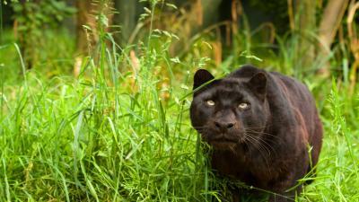 Black Panther Widescreen HD Wallpaper 52631