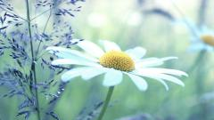 Chamomile Flower Wallpaper 50619