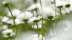 Chamomile Flowers Desktop Wallpaper 50621