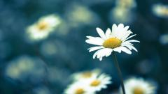 Chamomile Flowers Macro Wallpaper 50617