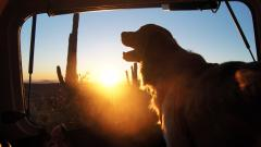 Golden Retriever Sunset Smile Wallpaper 49509