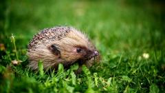 Hedgehog Animal Desktop Wallpaper 50475