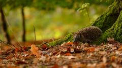 Hedgehog Animal Wallpaper 50472