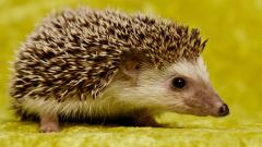 Hedgehog Animal Wallpaper Background 50470