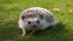 Hedgehog Computer Wallpaper 50473