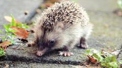 Hedgehog Widescreen Wallpaper HD 50474