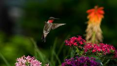 Hummingbird Wallpaper HD 49266