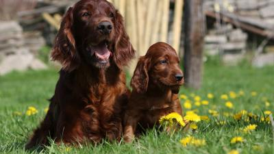 Irish Setter Dog Desktop Wallpaper 52361