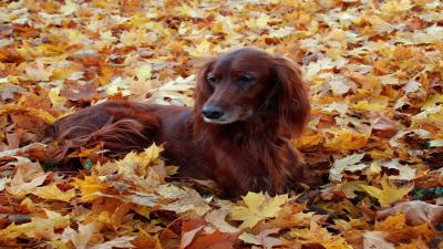 Irish Setter Dog Wallpaper Pictures 52359