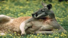 Kangaroo Resting Wallpaper Pictures 50452