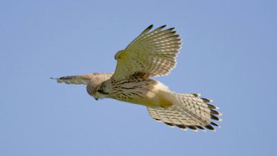 Kestrel Bird Computer Wallpaper 53895