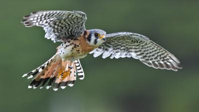 Kestrel Bird Flying Wallpaper 53893