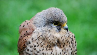 Kestrel Bird Widescreen Wallpaper 53894