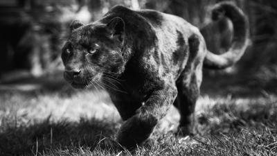 Monochrome Black Panther Wallpaper 52629