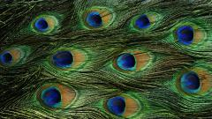 Peacock Bird Desktop Wallpaper 50070