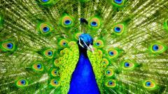 Peacock Bird Desktop Wallpaper 50073
