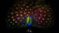 Peacock Bird Wallpaper 50072