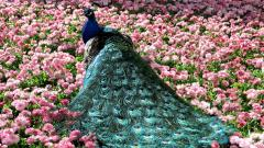 Peacock Bird Wallpaper HD 50071