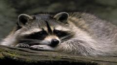 Raccoon Animal Computer Wallpaper 49322