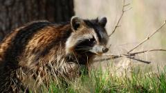 Raccoon Animal Wallpaper 49324