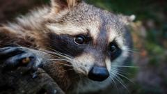 Raccoon Desktop Wallpaper HD 49323