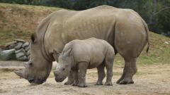 Rhinoceros Family Widescreen Wallpaper 49321