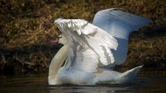 Swan Bird Desktop Wallpaper 49256