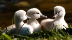 Swan Cygnet Wallpaper HD 49258