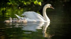 Swan Family Desktop Wallpaper 49257