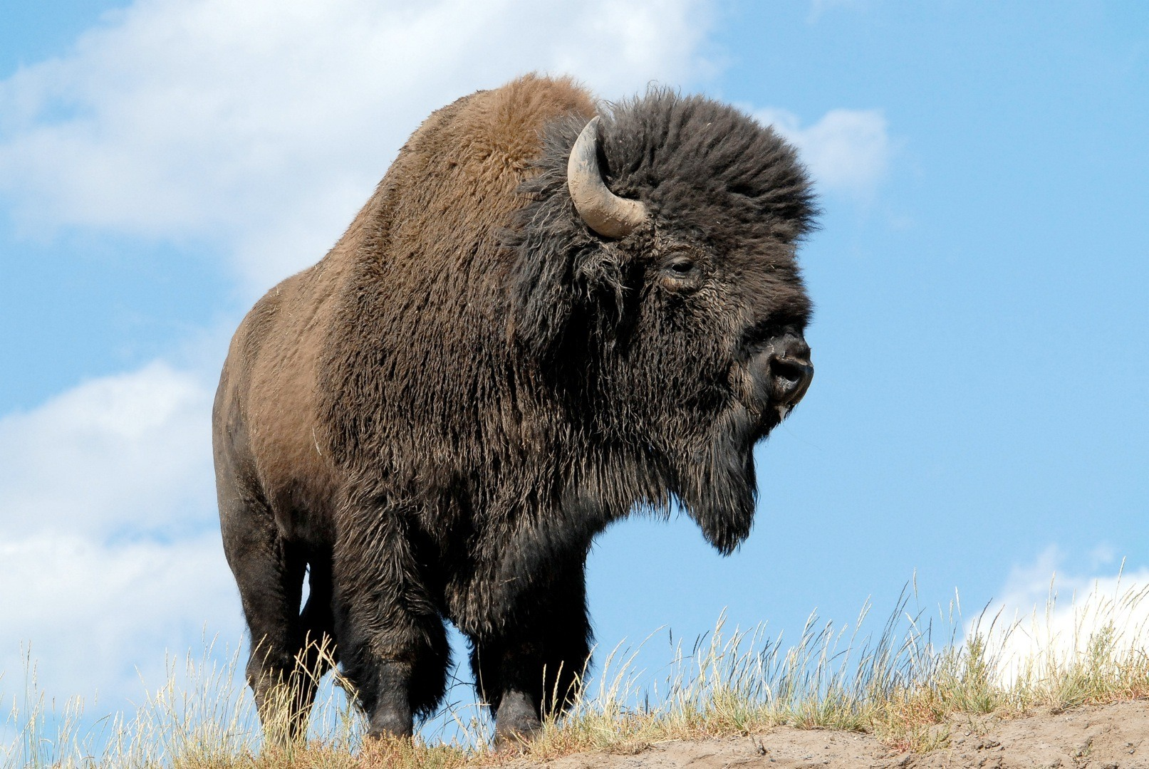 bison animal wallpaper photos 53706