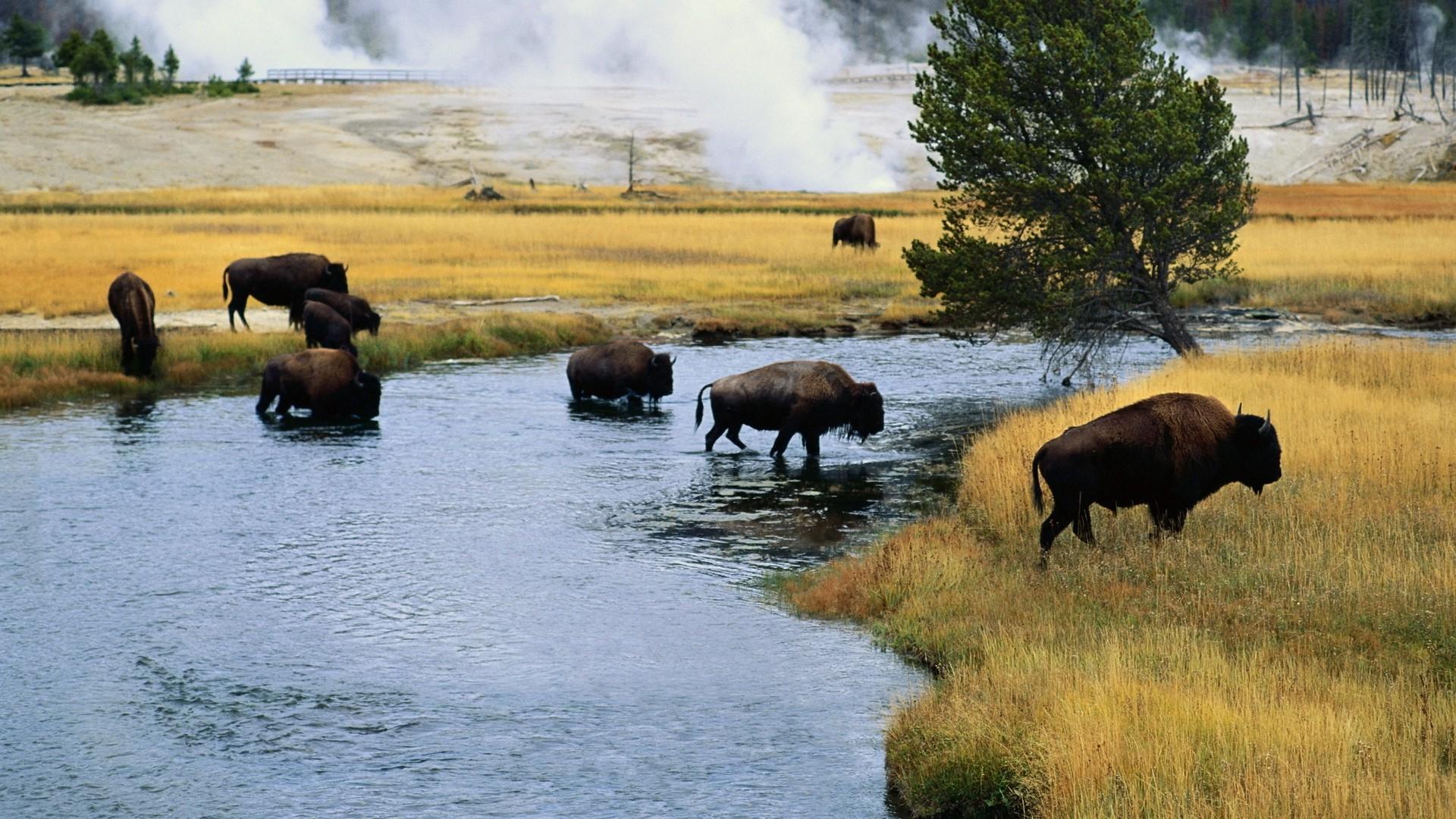 Must see Bison Wallpaper - bison-desktop-wallpaper-53704-55433-hd-wallpapers  Snapshot_8482.jpg