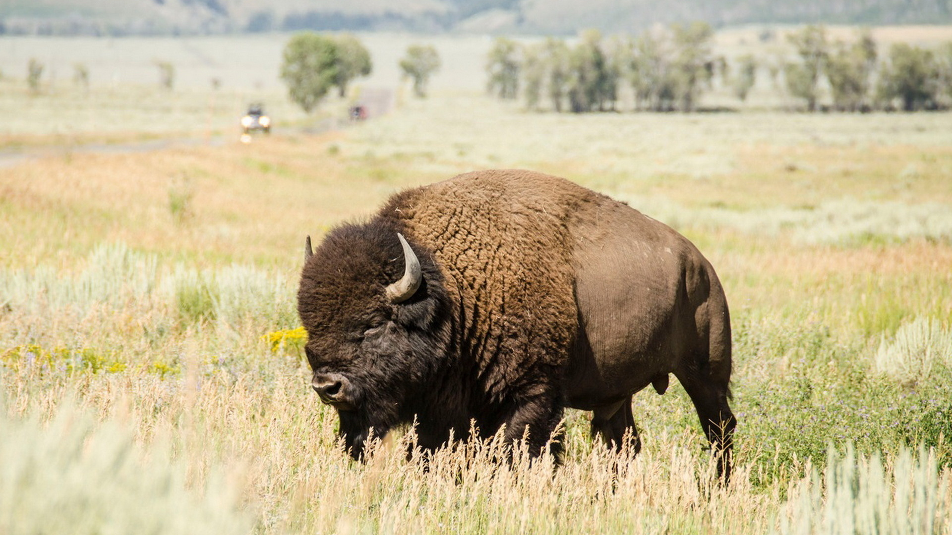 bison hd wallpaper 53703