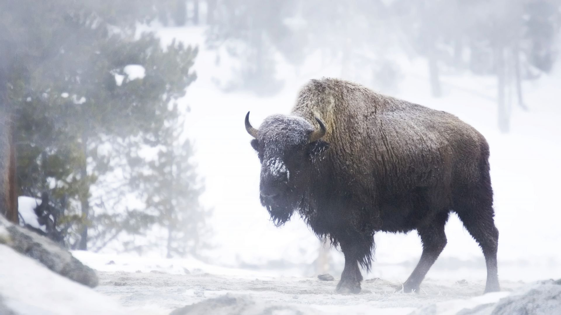 bison winter wallpaper 53697
