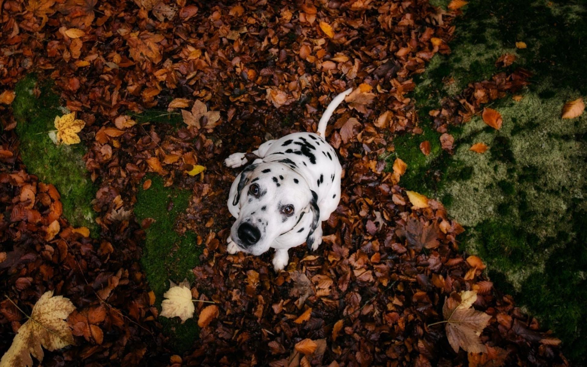 Dalmatian Dog Wallpaper 50344