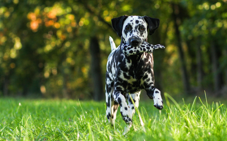 Dalmatian Dog Wide Wallpaper 50350