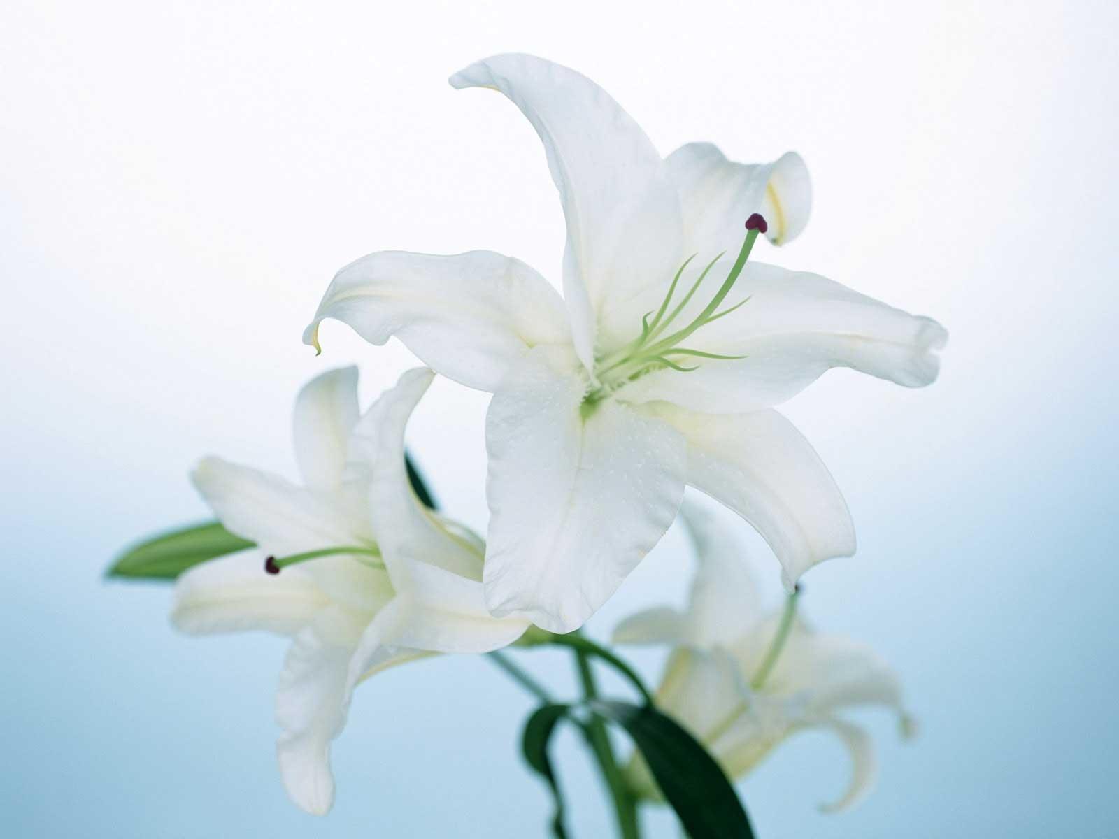 lily flower computer wallpaper 50632